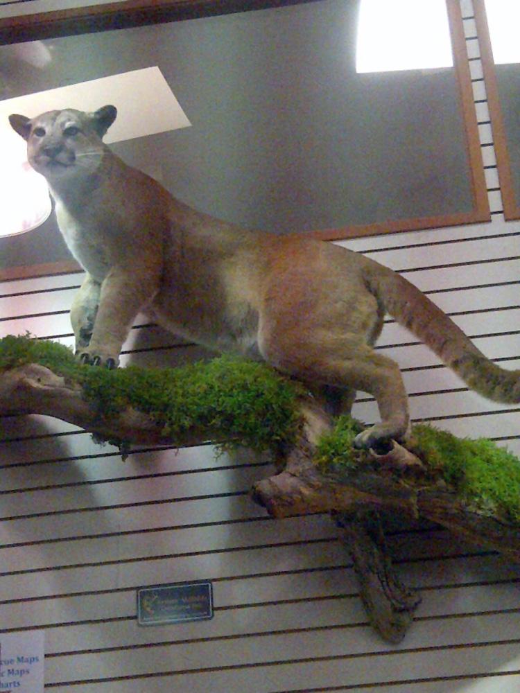 Cougar 1
